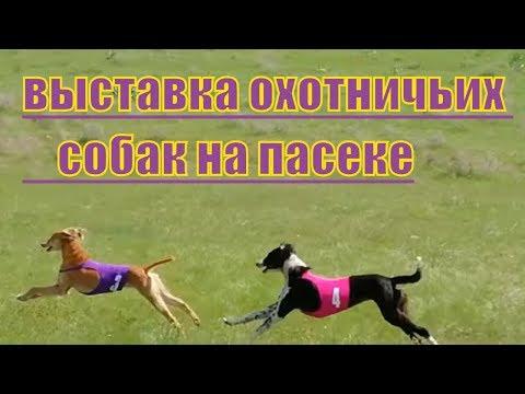 Выставка охотничьих собак на пасеке