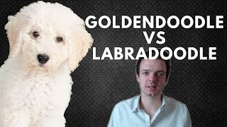 Goldendoodle Vs Labradoodle - Choosing A Puppy