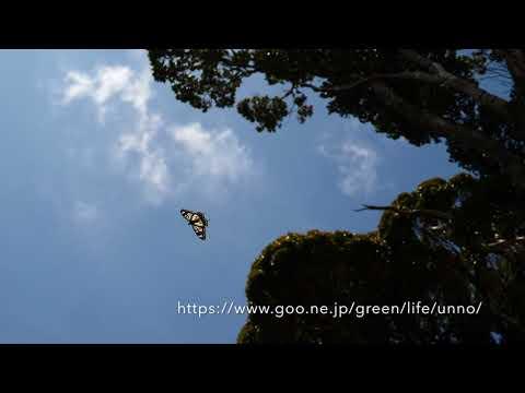 ベンゲットアゲハの飛翔