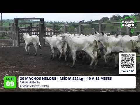 30 MACHOS NELORE - TAPIRAMUTÁ-BA