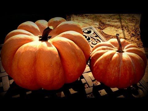 , title : 'Harvesting Musquée de Provence Pumpkins