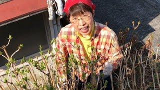 アジサイ春の剪定芽吹き時に枯れ枝を剪定して株元をスッキリ