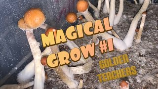 🍄 Magic Mushroom Grow! Golden Teachers: Pins - Harvest 🧙♀️