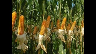 Senate Committee briefs the country of maize scandal probe