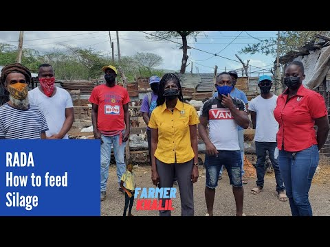 , title : 'Feeding Silage to Goats #RADA #StThomas