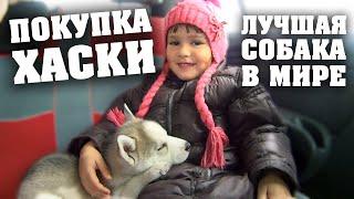 Хаски - Лучшая Собака в Мире. Покупка