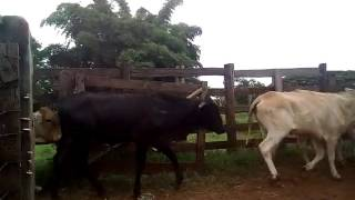 Bovino Corte Mestiço Novilha 6-10@ - e-rural Imagens