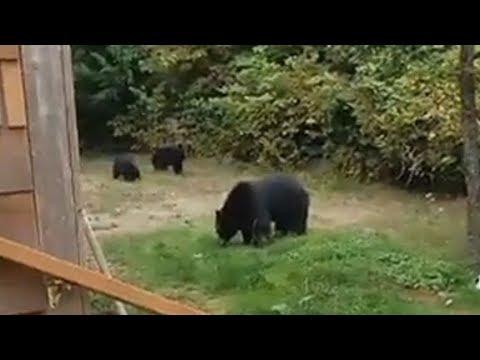 Мужчина культурно попросил медведей покинуть его двор