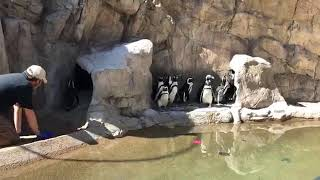 Zoo to You Virtual Safari: African Penguins