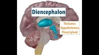 Diencephalon: THALAMUS, HYPOTHALAMUS, PINEAL GLAND