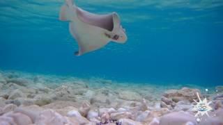 Podvodna snimka ulova goluba (2K)