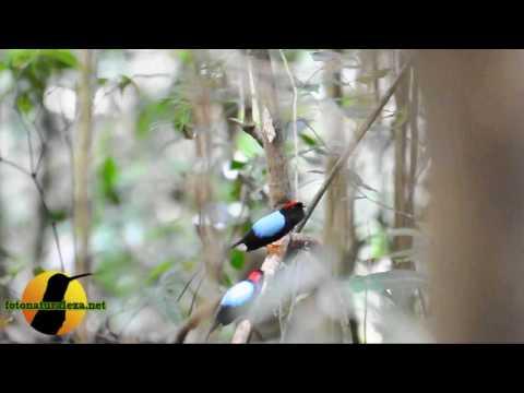 Video: Chiroxiphia linearis