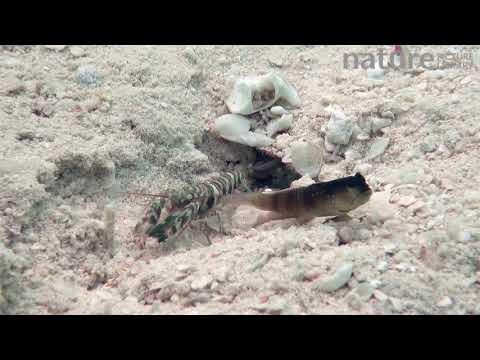 бычок следит за тем, как креветки копают и чистят общую нору в песке, остров Уепи (Uepi), Соломоновы острова