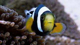 Amazing Clownfish Teamwork | Blue Planet II | BBC Earth