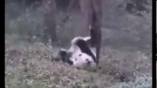 Панды зажигают!