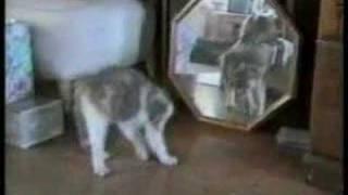 Домашние Животные, Кошачьи приколы