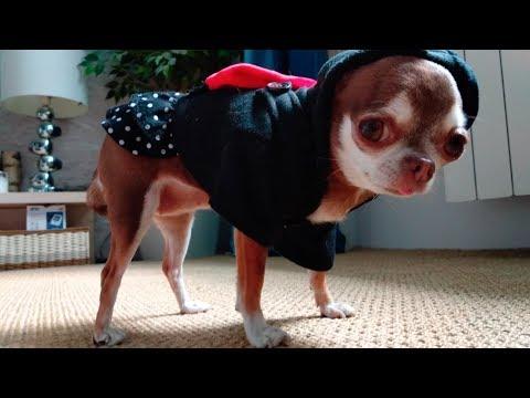 Ожирение у чихуахуа. Сажаем Фондю на диету. Как бороться с лишним весом у собак?