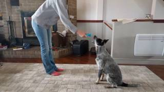 Australian Cattle Dog 5 Months Training And Tricks