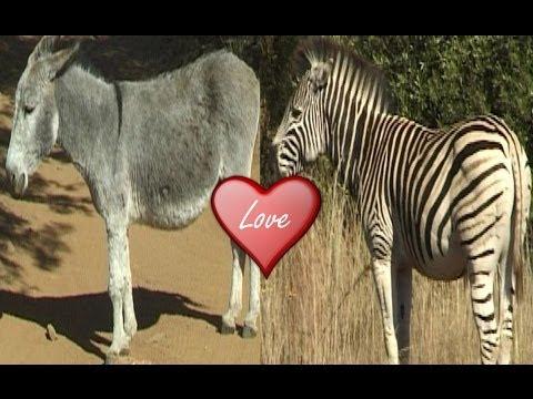 Zebra Mated with Donkey.