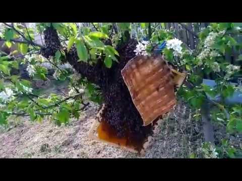СНИМАЮ РОЙ ПЧЕЛ С ЯБЛОНИ- собираю рой пчел в роевню ,Beekeeping