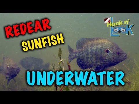 Redear Sunfish Underwater