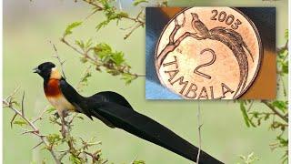 Райская Вдовушка 2 Тамбала 2003 Малави
