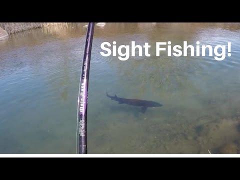 Størfiskeri i en lille å 2017