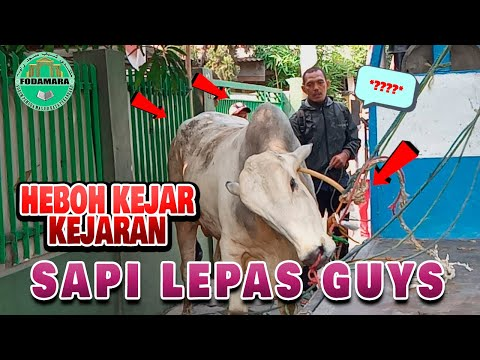 VIRAL KERBAU LEPAS TADI SIANG!!! DI PEKANBARU 2019