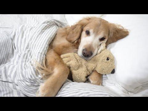 הכלב החמוד הזה הולך למיטה ממש כמו ילד קטן!