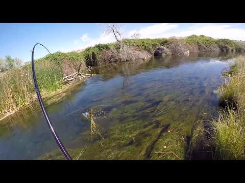 Størfiskeri i en lille å 2016