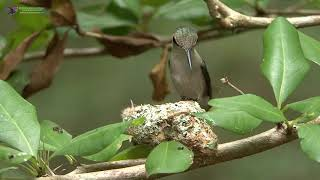 Bee Hummingbird   Feeding Chicks