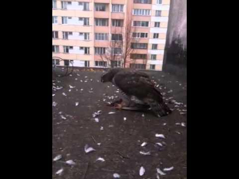 Сокол на крыше СПб