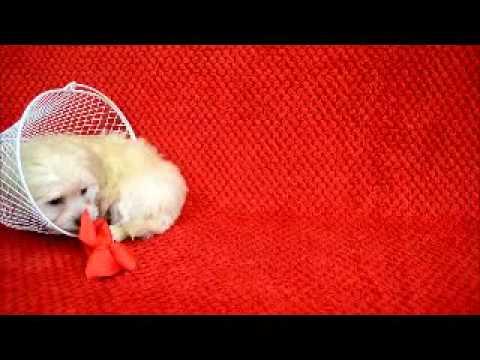 Winnie the Havapoo Playing