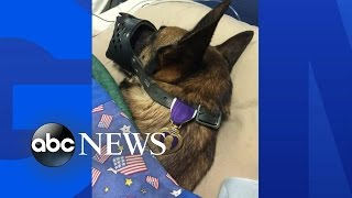 Military Dog Earns Purple Heart Honor