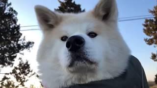 mqdefault - 秋田犬パティ   お天気がいいので、たくさんパパと遊んであげたら、ぼくは帰りに疲れて歩くのも嫌になってしまったので、抱っこさせてあげました🐶💦💕