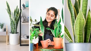 How To Grow Snake Plant Faster, Propagate And Care Indoors.