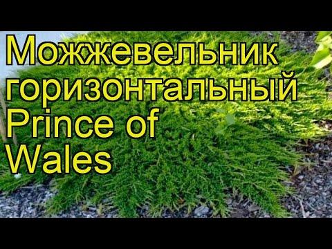 Можжевельник горизонтальный Принц Уэльский. Краткий обзор, описание характеристик