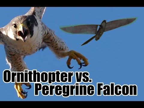 Ornithopter vs. Peregrine Falcon - Battle in the Skies!