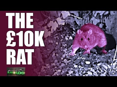 The £10,000 rat & red squirrel rangers – AirHeads, episode 2