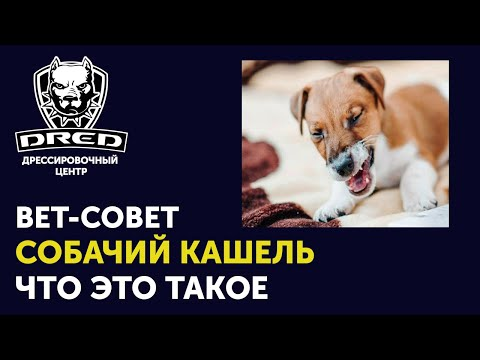 Вет-совет | Вольерный грипп или собачий кашель у собак | Симптомы | Как лечить