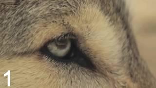 საინტერესო ფაქტები მგლების შესახებ