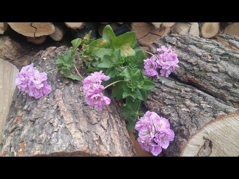 Плющелистная пеларгония PAC Lilac Rose