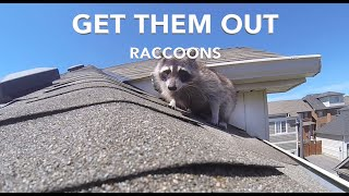 Get Raccoons Out