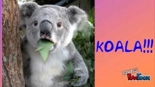 Koala Food Chain