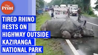 Viral: Tired rhino rests on highway outside Kaziranga National Park - Download this Video in MP3, M4A, WEBM, MP4, 3GP