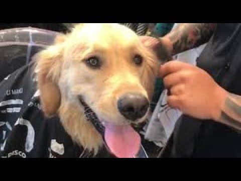 Patient Golden Retriever gets a fur cut at the barber shop
