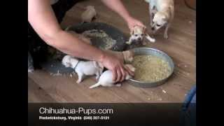 How To Wean Chihuahua Puppies - 4 weeks old - First Solid Food