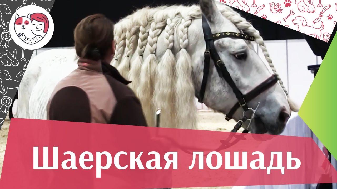 ЛОШАДИ Шаерская порода Фальц аденская порода ЭКВИРОС 2016 на ilikepet