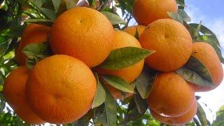 تحميل و مشاهدة تفسير رؤية البرتقال والليمون في المنام MP3