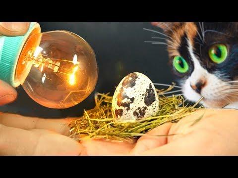 Experiment! ein Küken aus dem gekauften Ei.